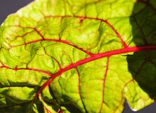 The texture of the fresh leaf beet with red streaks and drops of dew Stock Photography
