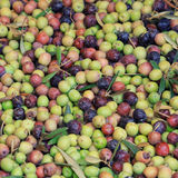 Texture of fresh olives right from the tree Stock Photography