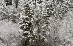 Snow on wood trees in countryside near Engen, Germany Royalty Free Stock Photo
