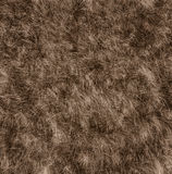 The texture of fur bear Stock Image