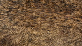 Texture of fur - fox - high resolution. Texture of fur - fox - animal - high resolution royalty free stock photos