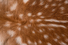 Texture of fur Stock Photography