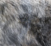 The texture of fur wolf Royalty Free Stock Photos