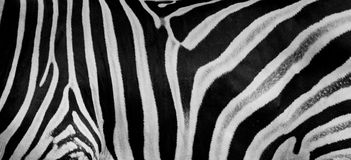 Texture of fur, wool zebra. Striped black and white background.