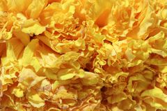 Texture of garland marigold petal flower, a plant of the daisy family. Texture of garland marigold petal flower, a plant of the daisy family, typically with royalty free stock images