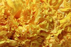 Texture of garland marigold petal flower, a plant of the daisy family, typically with yellow, orange, or copper-brown flowers. Texture of garland marigold petal royalty free stock image