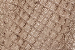 Texture of genuine leather close-up, embossed under the skin a light-brown crocodile, background Royalty Free Stock Photo
