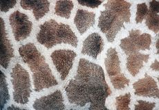 Texture of giraffe skin Royalty Free Stock Photo
