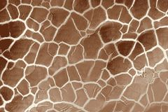 Texture of a giraffe skin and hair with spotted fur royalty free stock photo