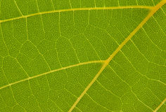 Texture of the grape leaf Stock Photos