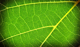 Texture of the grape leaf. Texture of the green grape leaf Royalty Free Stock Images
