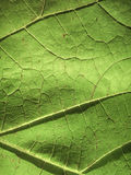 The texture of a grape leaf Royalty Free Stock Photography