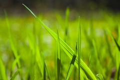 Texture of grass Stock Images