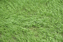Texture of grass Royalty Free Stock Image