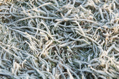 Texture of grass in the frost Stock Photo