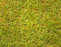 Texture grass Golf Course for design pattern and background. Texture grass Golf Course for design pattern and background Royalty Free Stock Photos