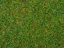 The texture of grass on green golf field Stock Photography