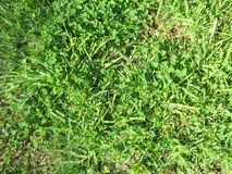 Texture with grass Royalty Free Stock Image