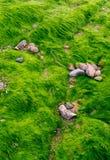 Texture of green algae on  the beach Royalty Free Stock Photo