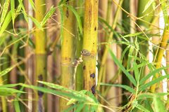 Texture, green bamboo grows in the jungle. Close-up.  royalty free stock photography