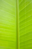 Texture of green banana leaf Royalty Free Stock Photography