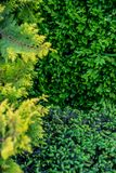 The texture of the green bush. Close-up view of the green bush. Natural texture royalty free stock image