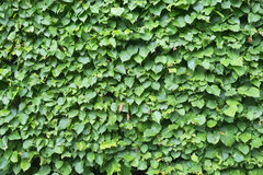 Texture of green bush leaves Royalty Free Stock Photos