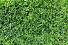 Texture of a green bush. Thuja royalty free stock image
