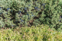Texture green bushes Royalty Free Stock Images
