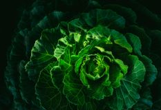 A texture of green cabbage in an organic farm. stock image