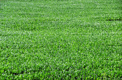 Texture of  green corn, maize, Royalty Free Stock Images
