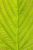 Texture of green detailed leaf Royalty Free Stock Photo