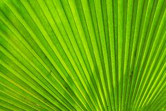 Shape of Fiji fan palm leaf. Texture of Green Fiji fan palm leaf with light Royalty Free Stock Images