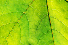 Texture of green fresh leaf Royalty Free Stock Image