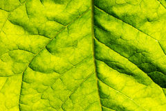 Texture of green fresh leaf Royalty Free Stock Images