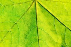 Texture of green fresh leaf Stock Image