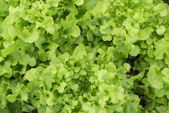 Texture of Green fresh Lettuce Salad Royalty Free Stock Images