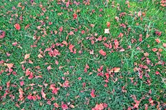 Texture of green fresh mown trimmed smooth natural bright grass, English lawn fields and scattered petals red flowers. background royalty free stock photos