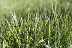 Texture of green grass Stock Photography