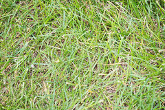 Texture Green Grass. Close up of grass blades, some matted, showing texture Stock Photos