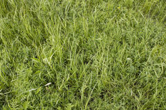Texture of a green grass Stock Image
