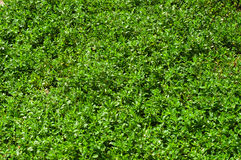 Texture of green grass Royalty Free Stock Photography