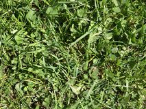 Texture green grass Royalty Free Stock Image