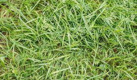 The texture is green grass Royalty Free Stock Photos