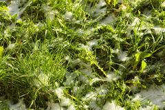 Texture of green grass with snow. Spring. Stock Photos