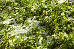 Texture of green grass with snow. Spring. Stock Images