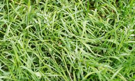 The texture is green grass Royalty Free Stock Photography