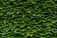 Texture of green hedge on a wall royalty free stock photography