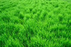 Texture of a green high grass. On a bright day Royalty Free Stock Photos