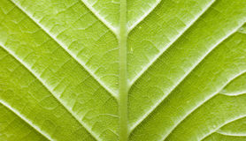 Texture of green leaf royalty free stock photography